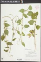 Image of Celosia trigyna