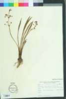 Image of Sagittaria chapmanii