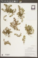 Lythrum portula image