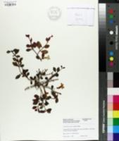 Image of Codonanthe carnosa