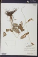 Anemia affinis image