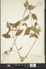 Galeopsis bifida image