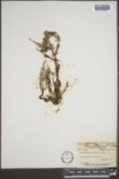 Image of Utricularia clandestina
