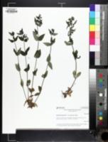 Houstonia lanceolata image