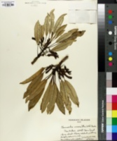 Image of Clermontia micrantha