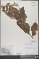Image of Luehea divaricata