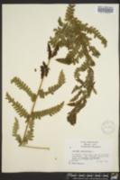 Claytosmunda claytoniana image