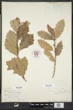 Quercus prinoides image