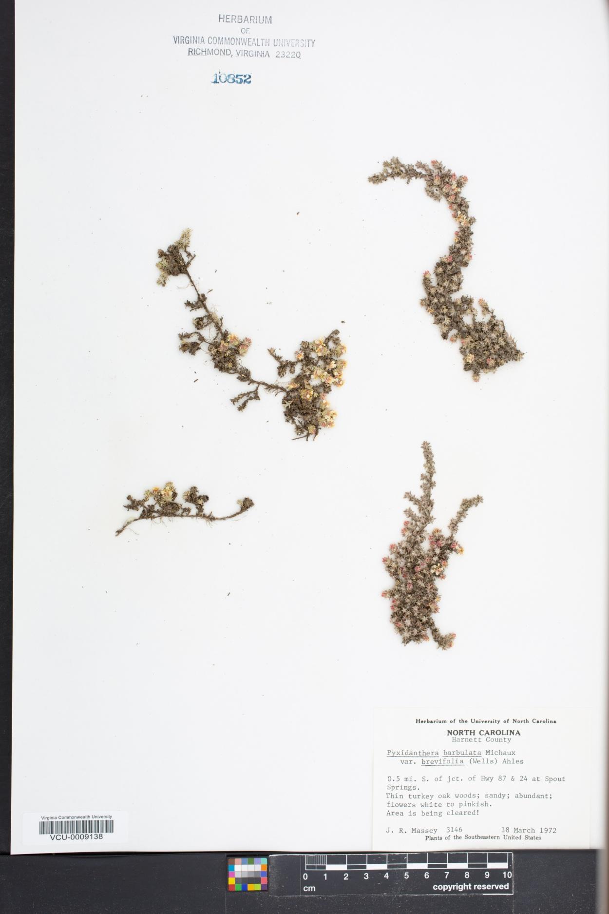 Pyxidanthera barbulata var. brevifolia image