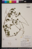 Salvia misella image