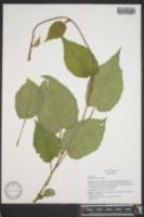 Actinidia chinensis image