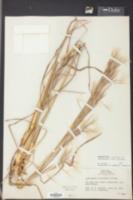 Andropogon glomeratus image