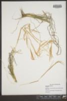 Andropogon gyrans image