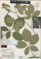 Image of Rubus juennensis