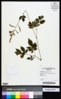 Image of Astilbe japonica