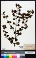 Acanthospermum humile image