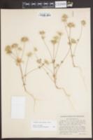 Image of Linanthus ciliatus