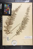 Image of Asplenium belangeri