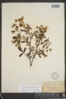 Image of Rubus chapmanii