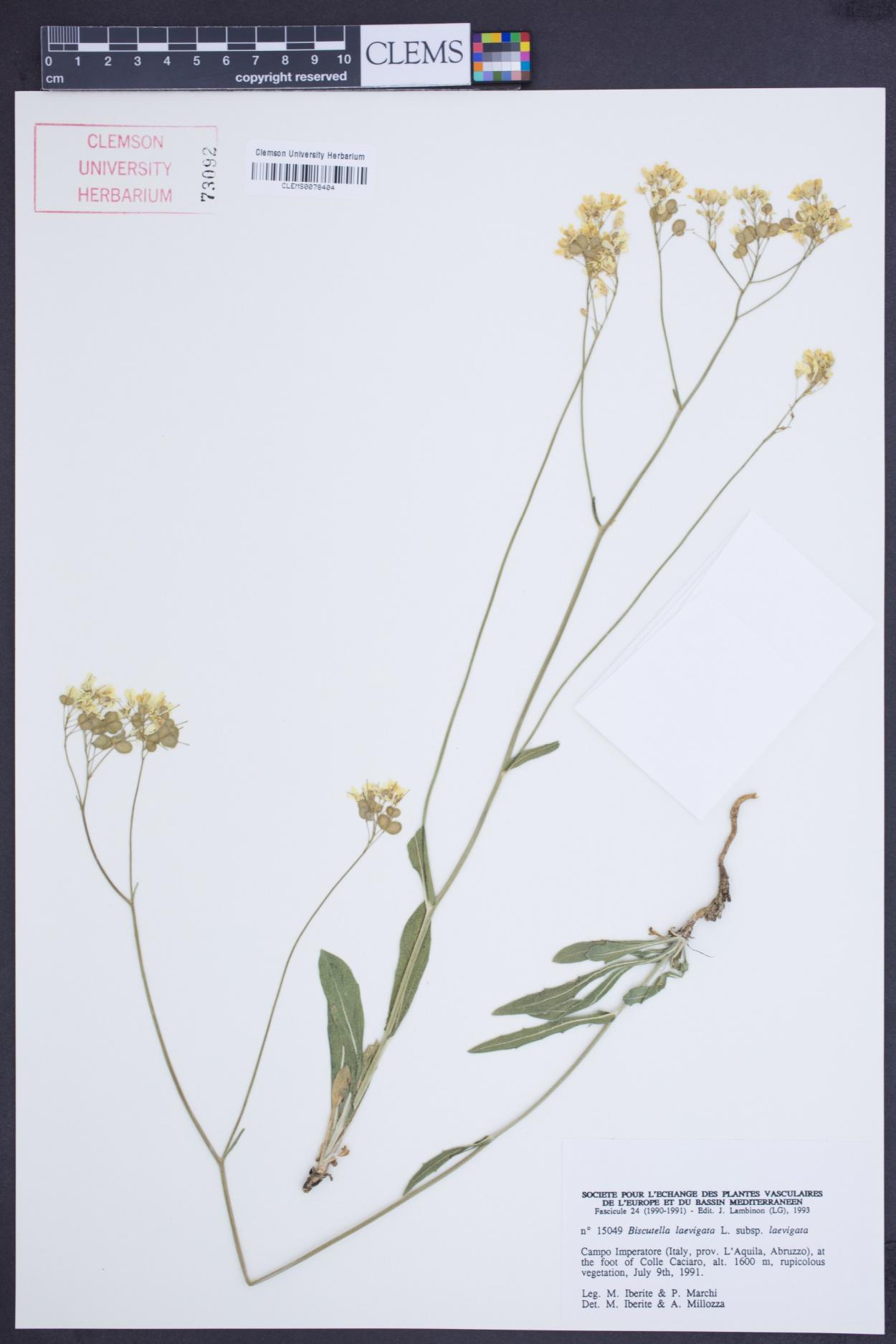 Biscutella laevigata subsp. laevigata image