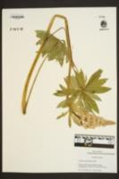 Lupinus polyphyllus image