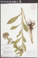 Aster tataricus image