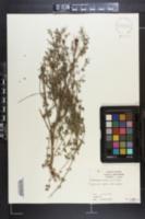 Clinopodium nepeta image