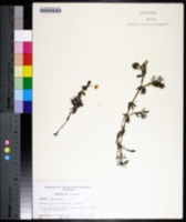 Ranunculus trichophyllus image