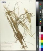 Leymus flavescens image