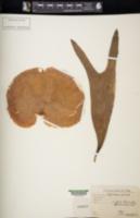Platycerium alcicorne image