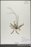 Lechea racemulosa image