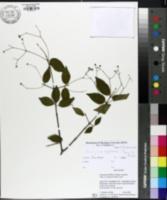 Image of Euonymus laxiflorus
