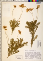 Euryops chrysanthemoides image