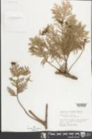 Chamaecyparis obtusa image