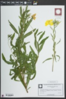 Image of Oenothera riparia