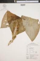 Image of Costus cupreifolius