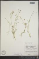 Arenaria muriculata image