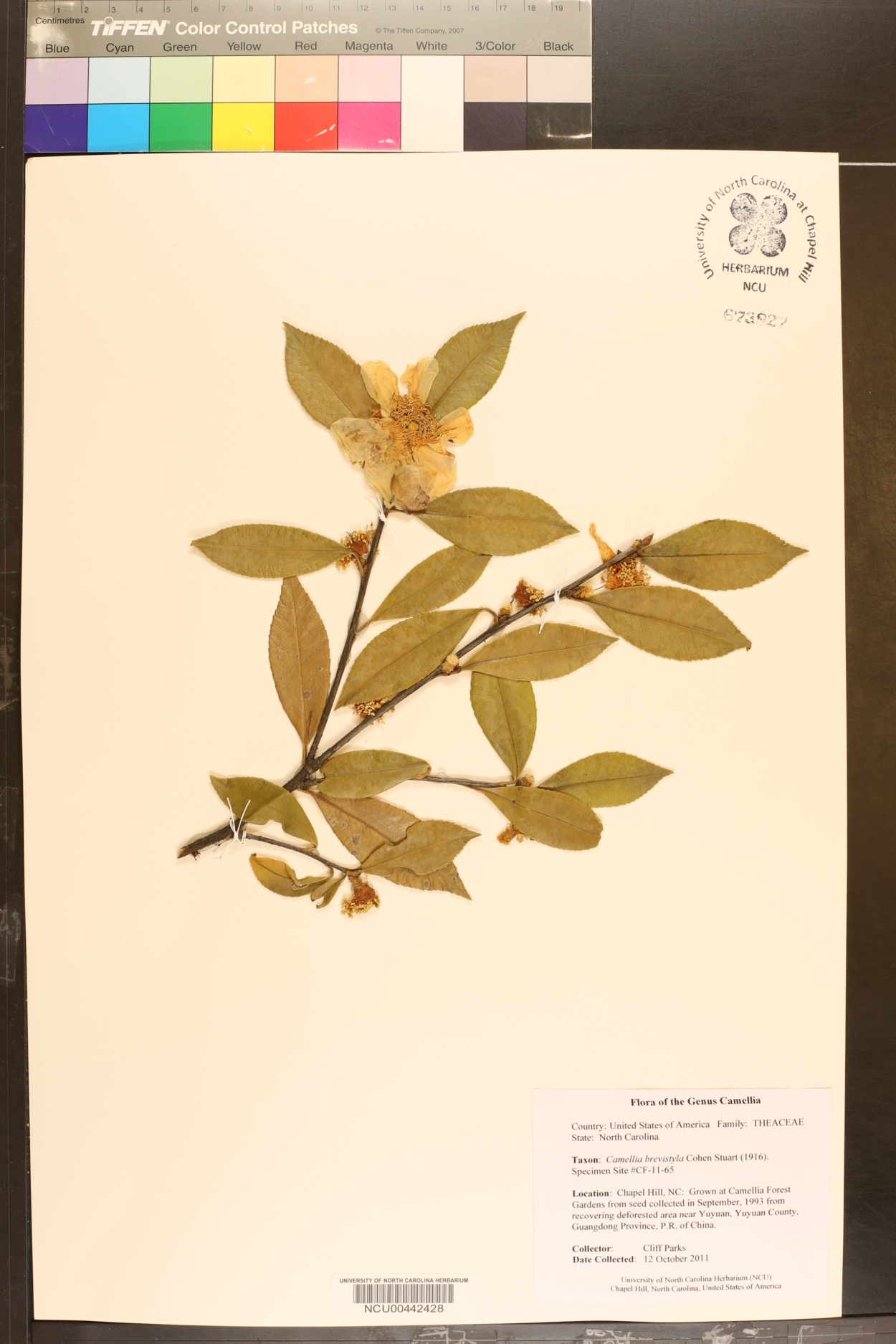 Camellia brevistyla image