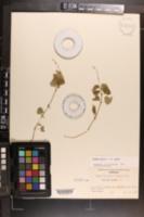 Circaea alpina subsp. alpina image