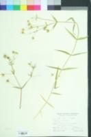 Stellaria holostea image