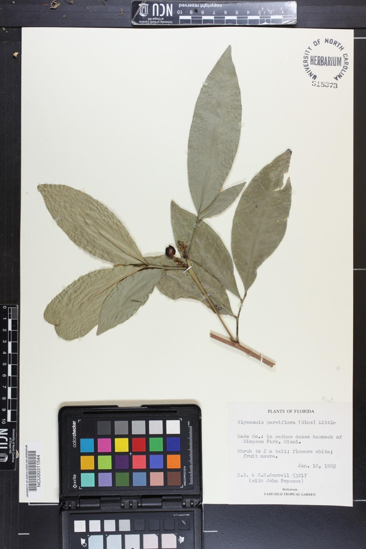 Glycosmis parviflora image