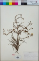 Malacothrix foliosa image