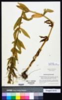 Image of Epilobium alpestre
