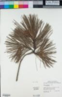 Pinus radiata image