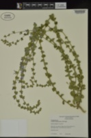Triodanis lamprosperma image