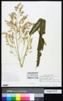 Image of Sorghum verticilliflorum
