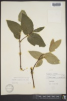Calycanthus occidentalis image