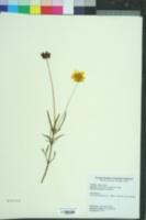Helianthus longifolius image