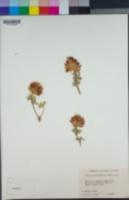 Trifolium macrocephalum image