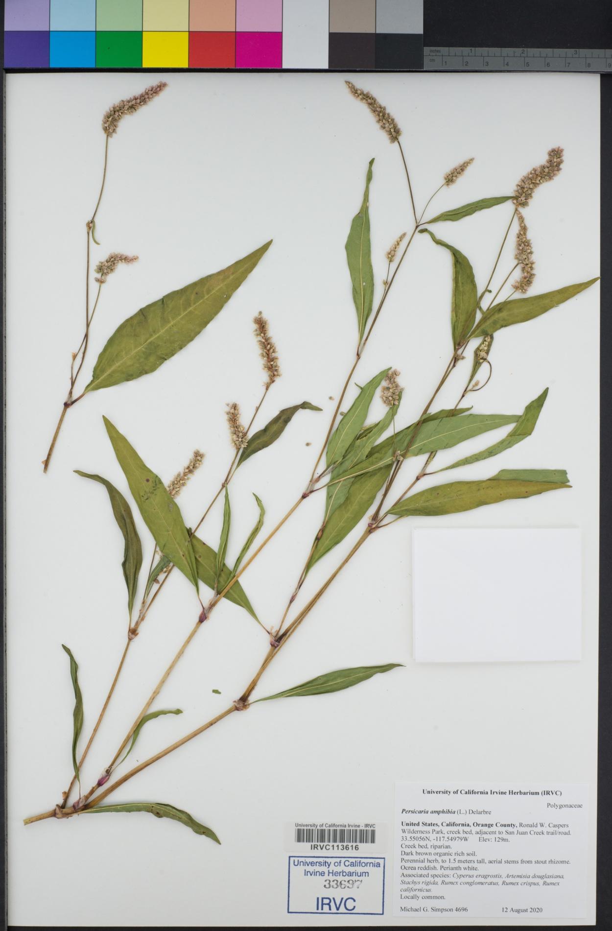 Polygonaceae image